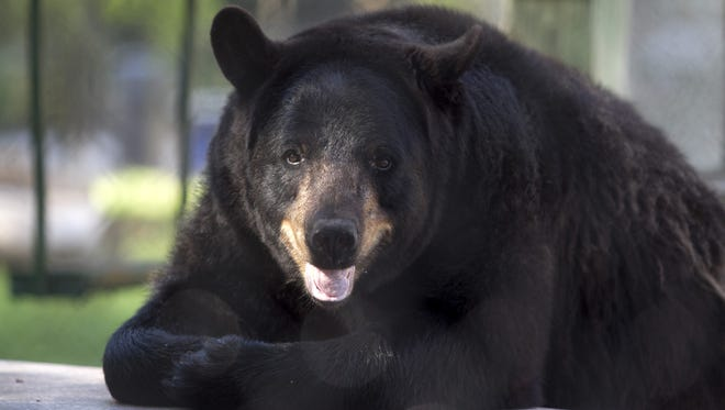 Another hunting season on black bears could be approved by fish and wildlife.