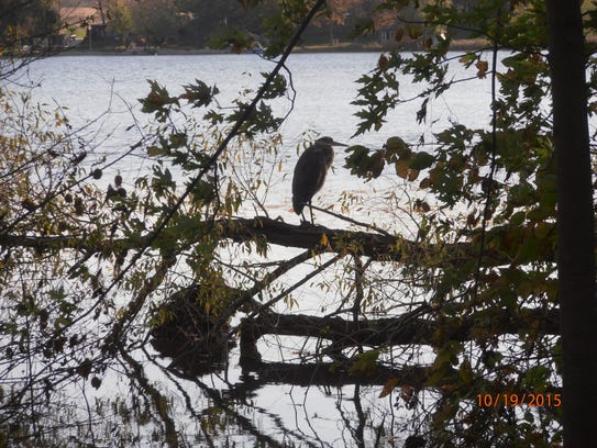 This great blue heron photo was taken by Gary Robinson