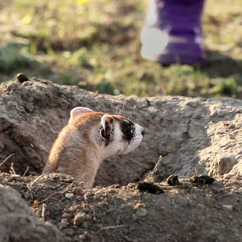 A feisty black-footed ferret snaps at the fingers of a volunteer from Fort Belknap's Tribal Fish and Wildlife Department.