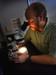 Eric Guisbert, a Florida Institute of Technology assistant professor of biological sciences, examines worms using a microscope.