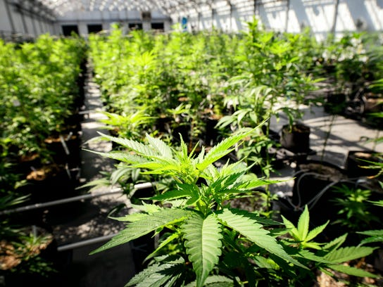 Marijuana plants grow May 5 at a Minnesota Medical