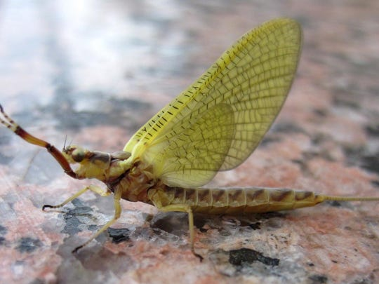 """A female """"Hexagenia limbata"""" mayfly, one of two species that biologist Jerry Kaster is attempting to establish in Green Bay."""