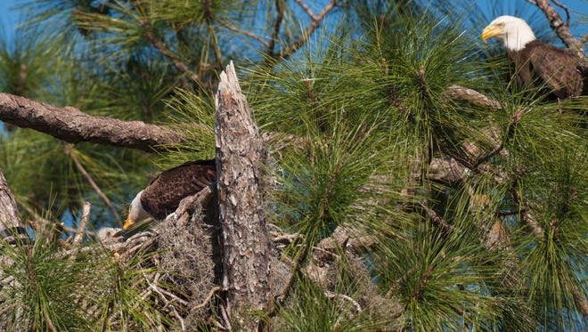One of the eaglets is fed on Friday at their nest in North Fort Myers. E8 was returned to the nest by CROW on Friday.