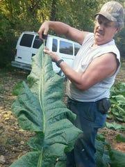 Jeff Killian measures a tobacco leaf.