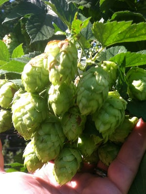 A handful of hop cones at Oast House Hop Farm in Jacobstown.