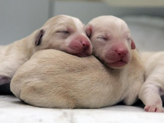 Three-day-old Labradoodle puppies take a