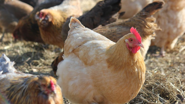 Should Millburn allow chickens? Some cry fowl