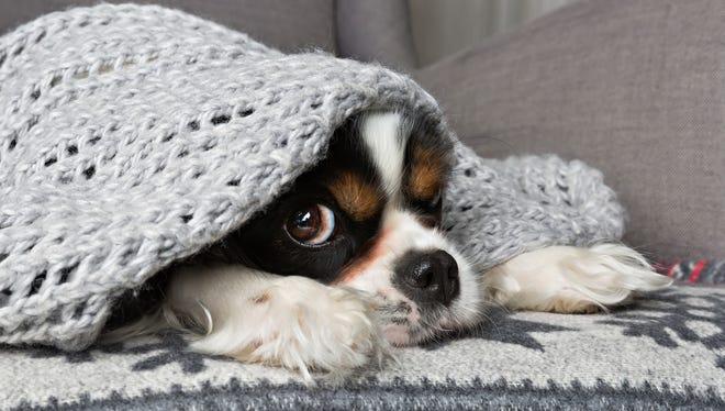 Stock image - Dog under blanket.