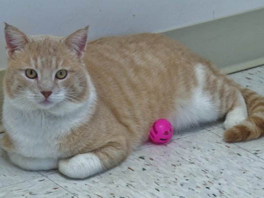 Epperson is a 4-year-old, orange-and-white boy who is the coolest cat! His expressions are just priceless and he's a really nice guy. If you're looking for a feline companion, Epperson just may be the fellow for you.