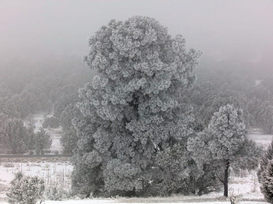 Nature flocked this tree for the holidays.