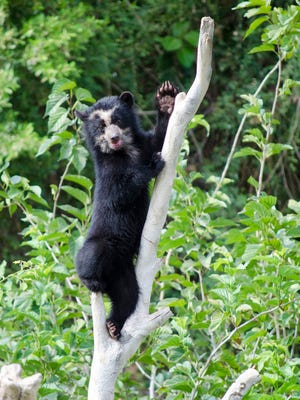 Two-year-old Luka the Andean bear surprised the Phoenix Zoo last month.