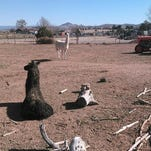 One year ago, Arizona's llama drama captivated the world. See where they are now.