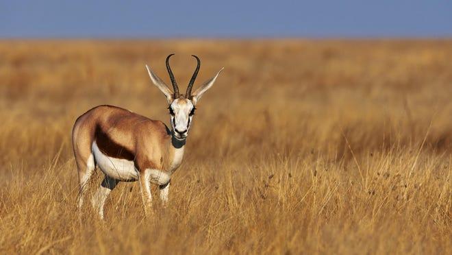 A male springbok in savannah of Namibia.