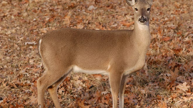 A concern expressed by hunters, landowners and wildlife biologists about observations of lower doe numbers has prompted the Alabama Wildlife and Freshwater Fisheries Division to reduce the daily bag limit to one antlerless deer per day for the 2014-2015 season.