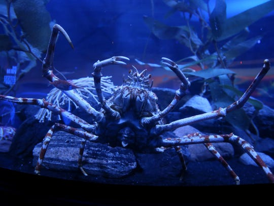 The Japanese Spider Crab, pictured, Wednesday, March