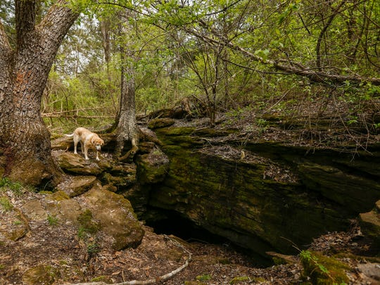 Dr. Gil Mobley's dog, BC, looks into the cave near Wanda Gray Elementary School on Wednesday. Dr. Mobley is worried the cave will be negatively affected by the Kansas Expressway expansion.
