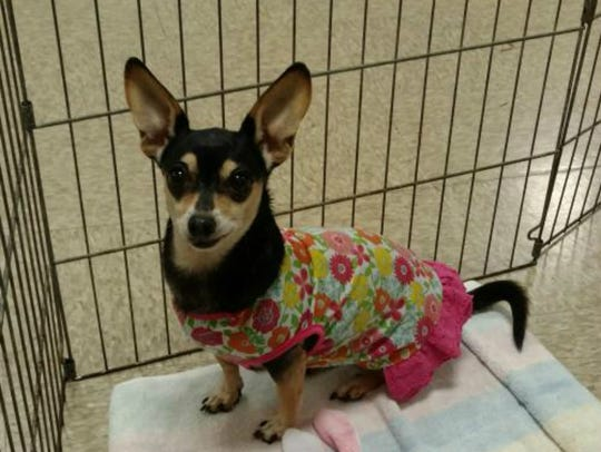 MeMe is an 8-year-old female Chihuahua mix who weighs