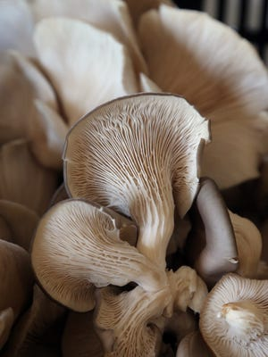 Learn how to grow Oyster mushrooms on logs at a class June 7 at Green Bay Botanical Garden.