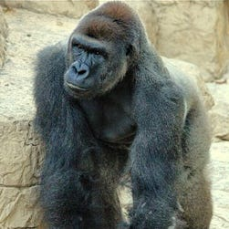 Harambe, the Cincinnati Zoo and Botanical Garden's newest gorilla, was put down after a 3-year-old child fell into his enclosure Saturday