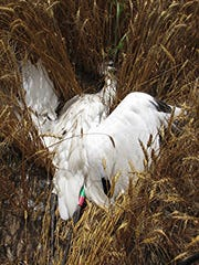 This 2-year-old female whooping crane was killed illegally in Waupaca County in July 2013.