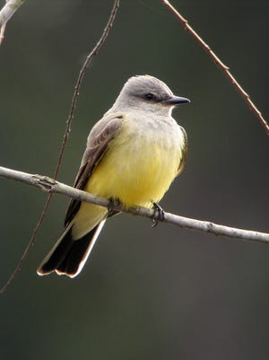 Small numbers of Western Kingbird winter in central and south Florida and migrate northwest, breeding west of the Mississippi River north to the Canadian border.
