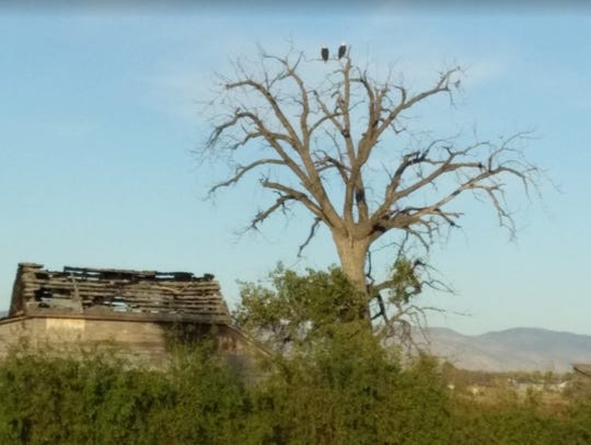 Eagles perch on an old tree next to Strang cabin. The