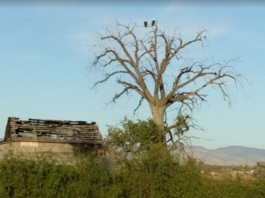 Eagles perch on an old tree next to Strang cabin. The tree and cabin were recently cleared by Larimer County, which owes the site.