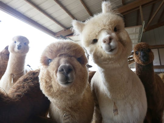 Alpacas at LondonDairy Alpaca Ranch.