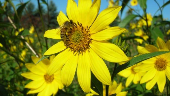 Prairie flowers dot the landscape of the Wiouwash Trail in Winnebago County.