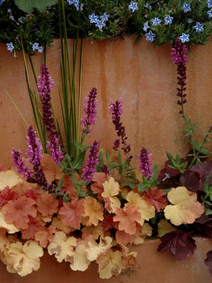 Heuchera with their maple shaped leaves make great component plants for mixed containers.