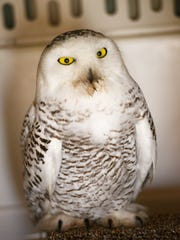 An extremely rare snowy owl that accidentally flew into Western North Carolina in late 2013 died in July 2016 from a neurological disease.