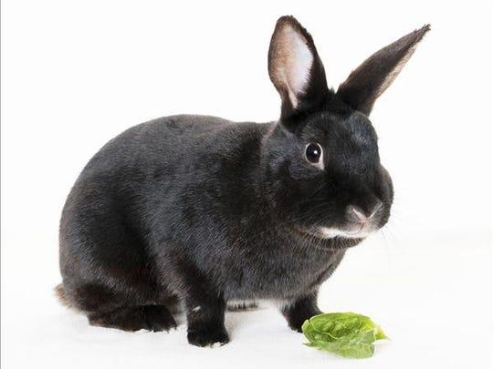 Charla, female American rabbit. No. 99753.