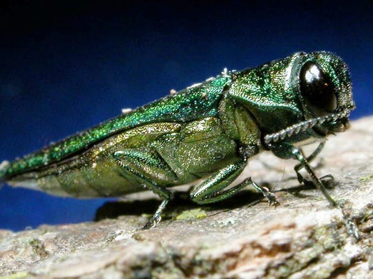 An adult emerald ash borer is shown in this photo released by Michigan State University. The tiny non-native invasive pest from Asia and Eastern Russia dines on ash trees and was first discovered in America in June 2002 in Michigan. Adult emerald ash borers are less than half an inch in length.