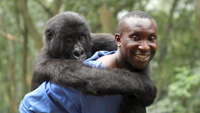 Park Ranger Andre với Ndakasi, một trong những loài khỉ đột núi cư trú của Vườn quốc gia Virunga.