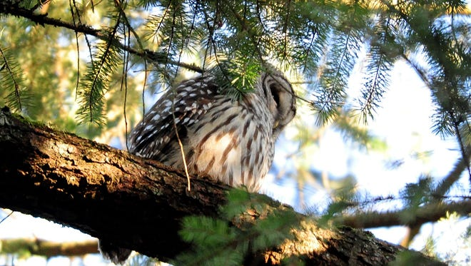 A barred owl sits on a limb in a Douglas fir tree at Bush's Pasture Park on Friday, January 30, 2015, in Salem.