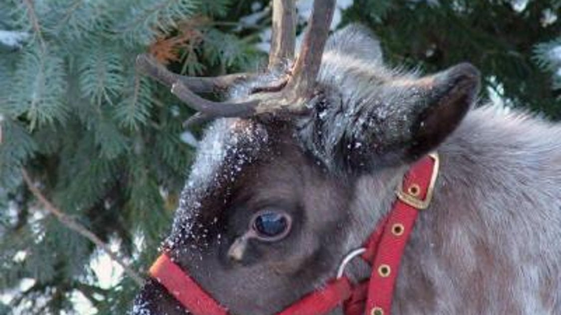 verona public library reindeer pictures - photo#44