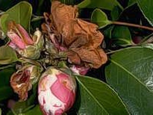 rotted camellia blossom