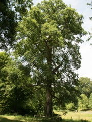A 130-foot-tall white oak tree on the property is listed