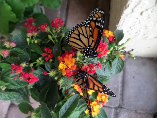 Adult monarch butterflies favor the nectar of the lantana plant.