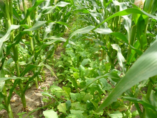 Cover crops are a great tool that growers can utilize to protect and enhance their most valuable resource: productive soil.