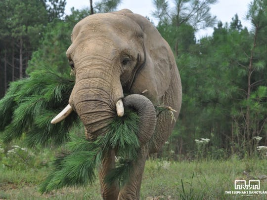 Tange enjoys a pine tree for his holiday meal at the Elephant Sanctuary in Hohenwald.