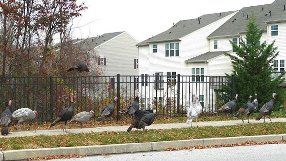 """What is a gathering of turkeys like this called? Flock is too easy. The National Wildlife Federation refers to them as a group. But there are other names as well, as VeloPhoto York's Rick Ramage says in a recent blog post. Try: """"crop"""", """"dole"""", """"gang"""", """"posse"""", and """"raffle."""" This photo also says something about York County, Pa., in 2015: Despite dense development, such as here at Regent's Glen in Spring Garden Township, we're only seconds away from being in the country. More photos: http://www.velophotoyork.blogspot.com/."""