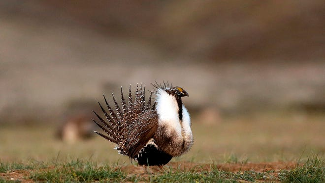 In this April 22, 2015, file photo, a male sage grouse struts in the early morning hours on a leak outside Baggs, Wyo.