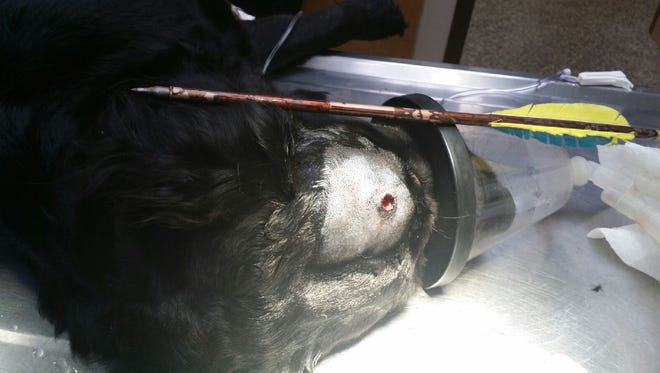 This  2-year-old flat-coated retriever wandered around for two days with an arrow sticking out of her head after she was shot by her owner with a crossbow, authorities say.  The blue and yellow arrow protruding straight up narrowly missed the dog's brain and optic nerve.