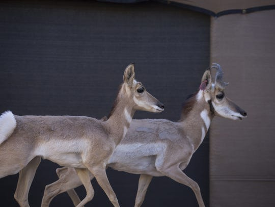 Two Sonoran pronghorns are isolated in a boma, a sort