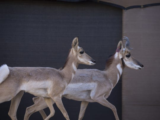 Two Sonoran pronghorns are isolated in a boma, a sort of livestock enclosure, just before being netted and processed on the Cabeza Prieta National Wildlife Refuge.