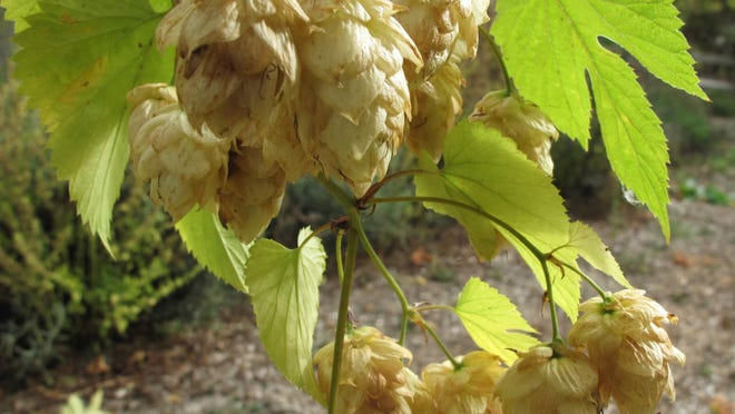 This 2013 photo shows hop flowers that are both ornamental and edible in a garden in Langley, Wash. Hops are an easy-to-grow perennial that greatly enhance a beer's flavor when picked fresh.