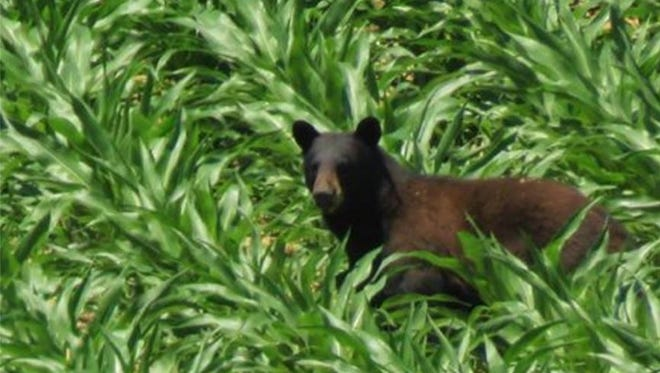 The Iowa Department of Natural Resources posted this photo of a black bear just outside of Yellow River State Forest in northeast Iowa.