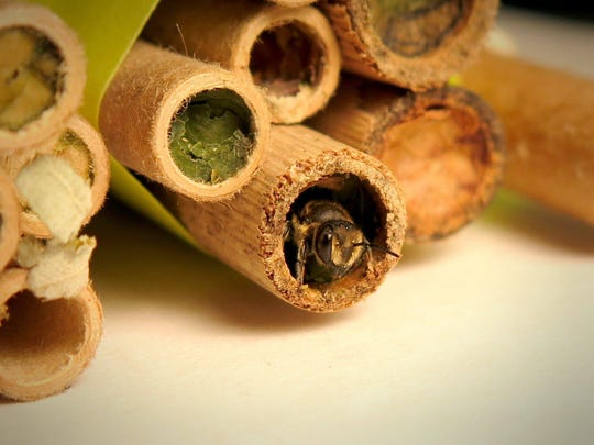 A native bee in a bee cocoon.