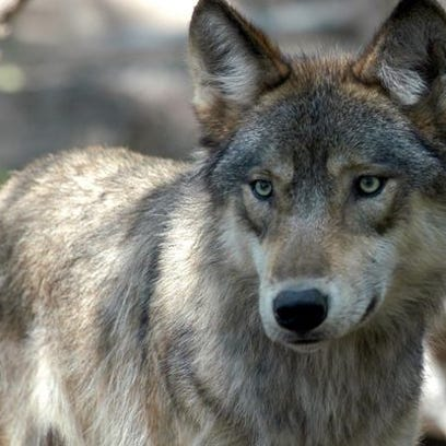 Only three wolves remain on Isle Royale, down from